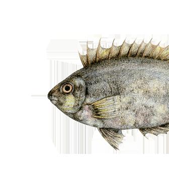 El pez conejo